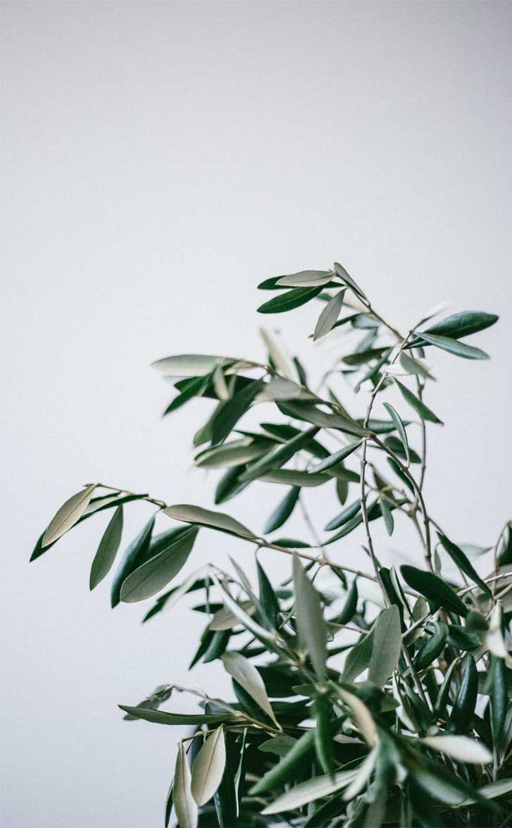 Green leaves  - olive leaves , wallpaper #wallpaper #photos #inspiration
