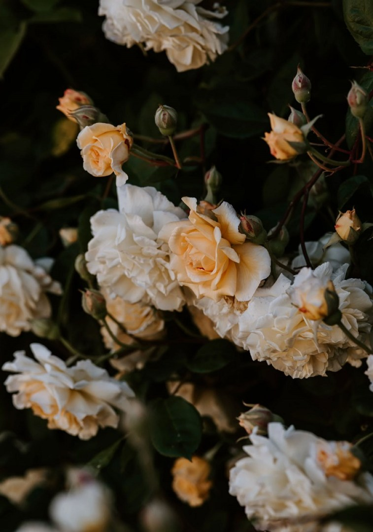 Yellow and White roses  - pretty flowers #wallpaper #iphone