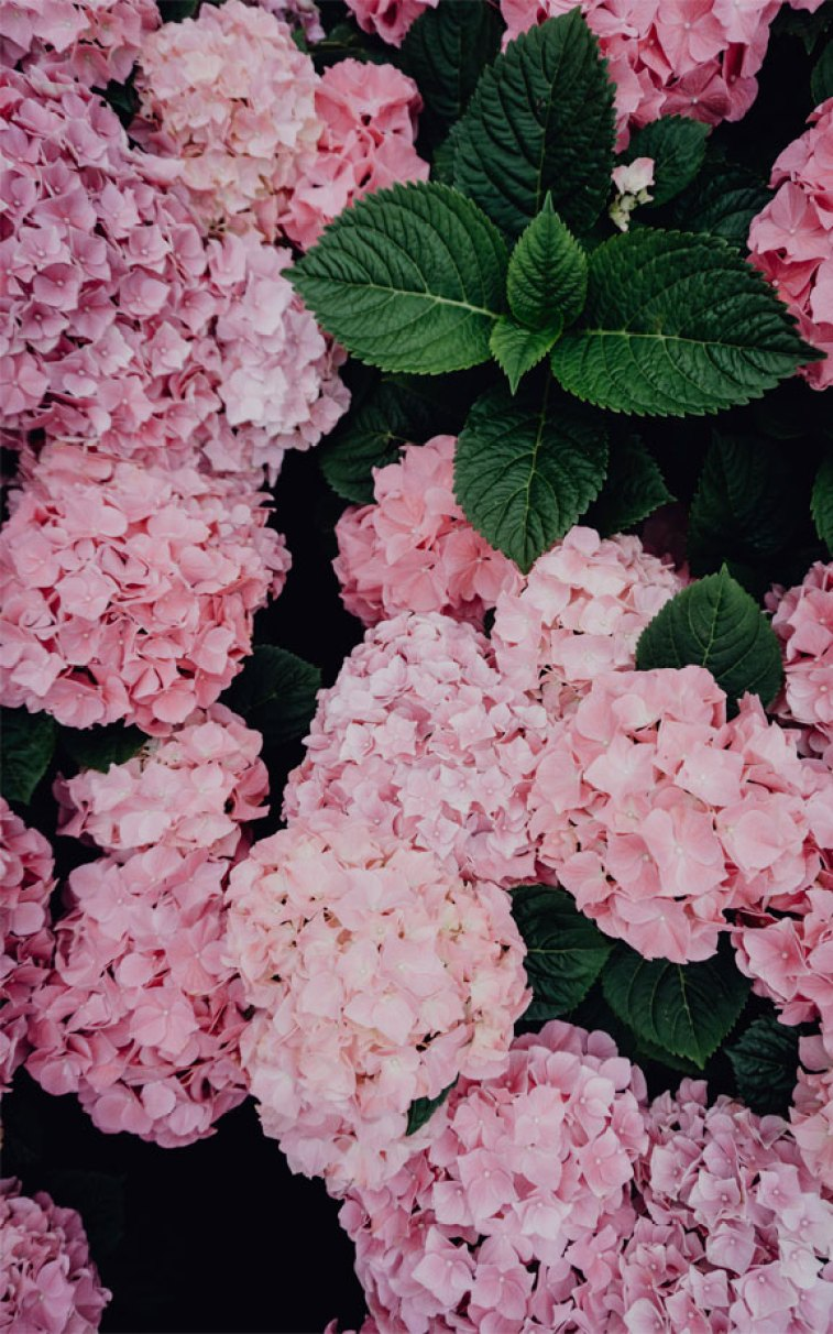 Beautiful hydrangea in pink color #flower #summer #spring #iphone #wallpaper