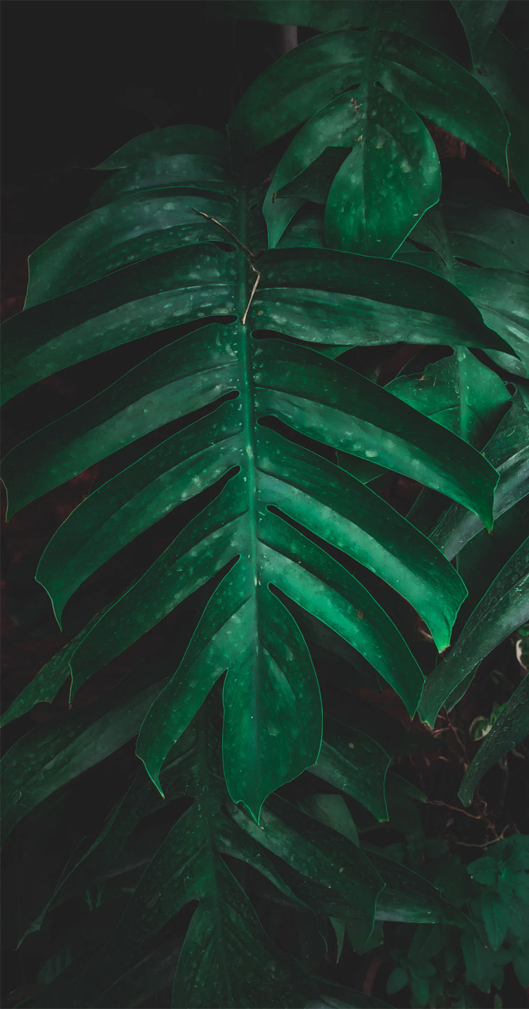 Green tropical leaves - Eye pleasing background , botanicals, leaf iPhone wallpaper. - Tropical Leaves, Botanicals, Leaf Phone Wallpaper - iphone background #wallpaper #background