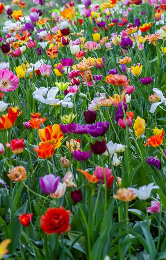 spring time, iphone wallpaper, tulips, tulip wallpaper, tulips wallpaper, tulips, tulip iphone background #iphonewallpaper