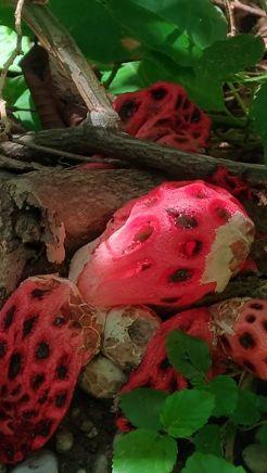 Fungo Clathrus crispus