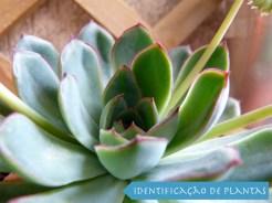 Suculenta Echeveria Pulidonis