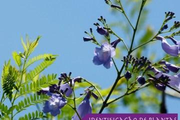 Árvore Jacarandá mimoso