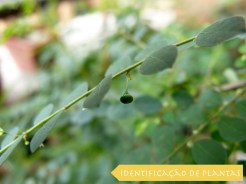 Matinho Quebra-pedra - Phyllanthus Tenellus