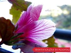 Vinagreira Roxa - Hibiscus Acetosella-00