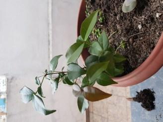 Parece Pitanga - Eugenia uniflora