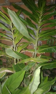 Lirio do Brejo - Gengibre Branco - Hedychium coronarium
