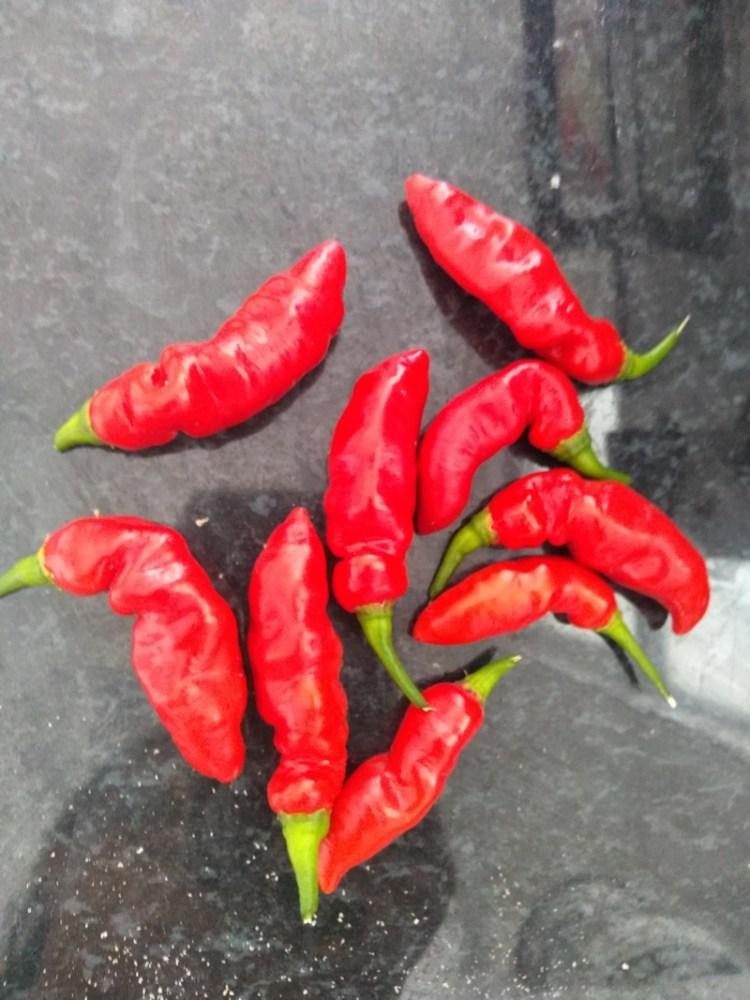 Pimenta Murupi Vermelha - Capsicum Chinense