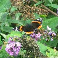 butterfly_red_admiral-300x300