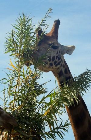 giraffe-300x458
