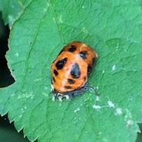 Ladybird instar