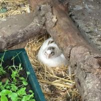 broody_quail