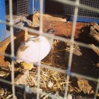 quail_chick