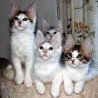 Peluang Bisnis Ternak Kucing Anggora Yang Menguntungkan