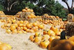 A pumpkin Corral from the Dallas Arboretum