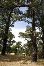 Whittlesea, Victoria - Australia 'Farmlands & Mount Disappointment State Forest Region' Photographed by © Karen Robinson www.idoartkarenrobinson.com March 2017