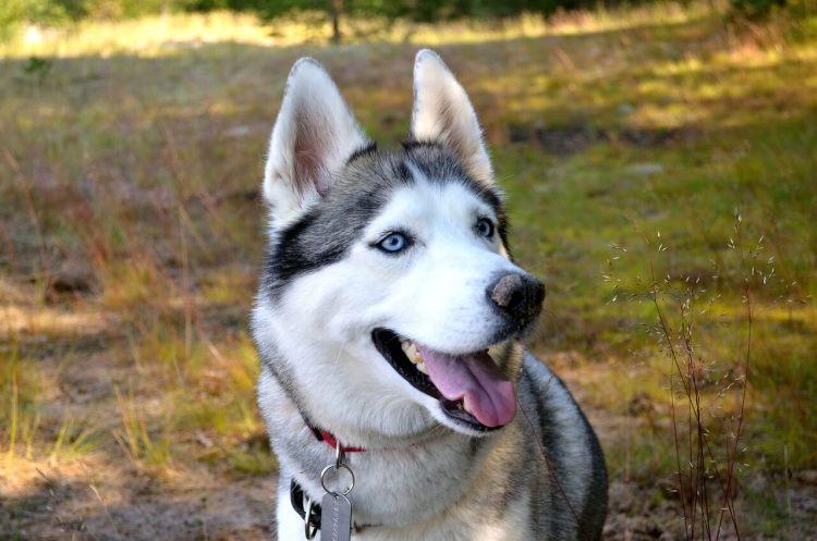 Siberian-Husky-healthiest-dog-breeds