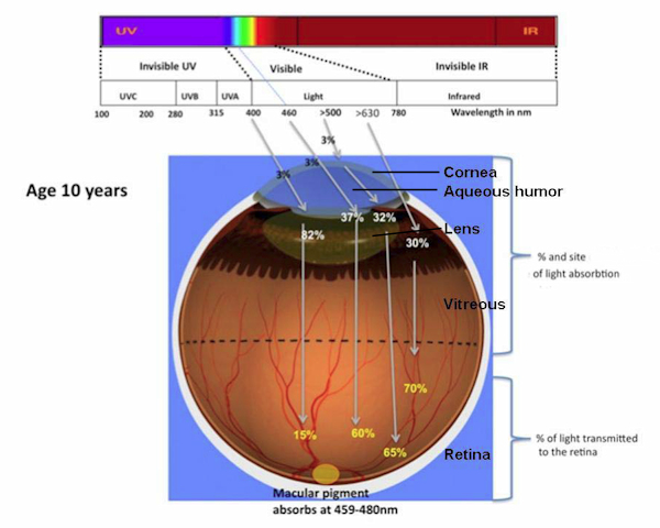 UV + visible light absorption within an eye of 10 years to young adult