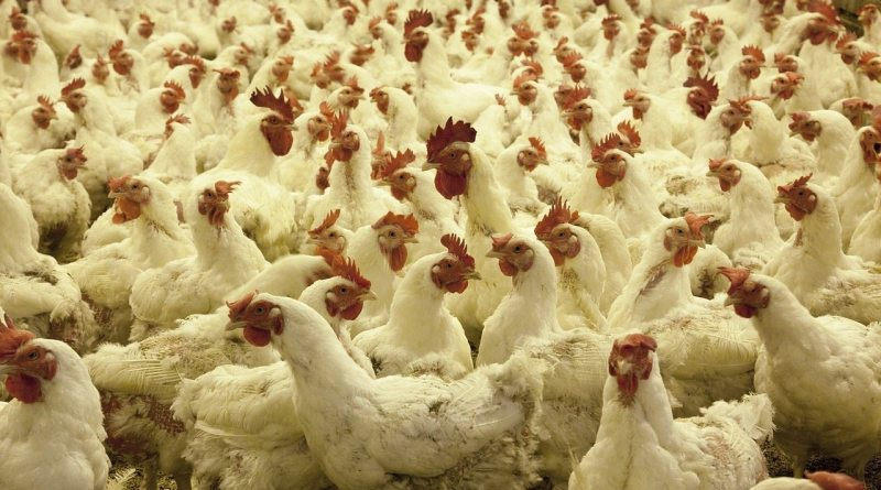 Poultry Pictures