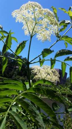 Queen Anne's Lace blossom against bright blue sky