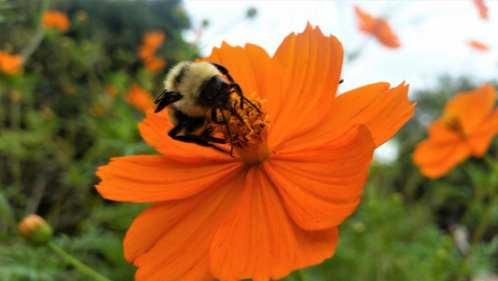 bumblebee on orange flower