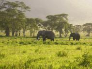 elephant_field_dream-of-africa_tours_safari_tanzania_arusha