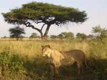 lion_in_front_of_tree_dream-of-africa_tours_safari_tanzania_serengeti_masai-mara