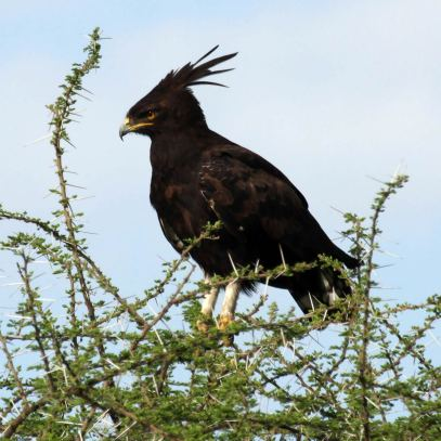long-crested_eagle_dream-of-africa_tours_safari_bridwatching_tanzania