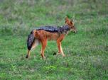 wild_dog_dream-of-africa_tours_safari_tanzania_ngorongoro