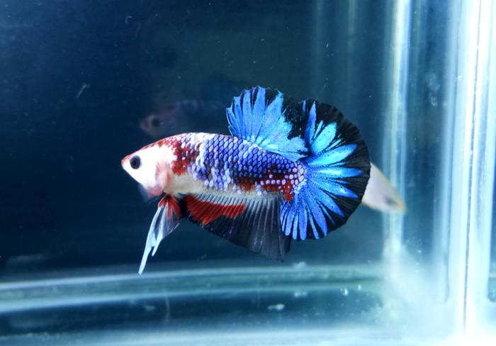 Ikan Cupang HMPK termahal