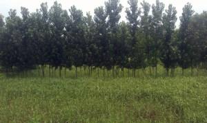poplar1