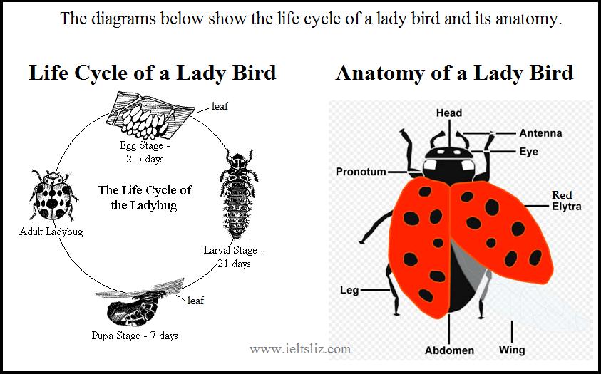 Ielts Writing Task 1 Life Cycle Diagram