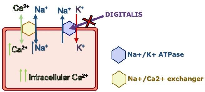 calcium mechanism
