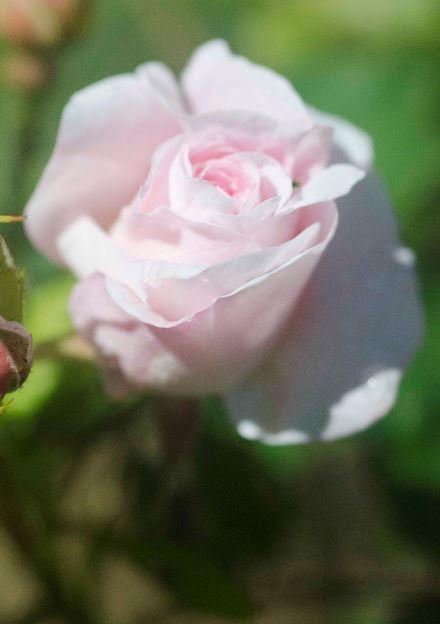 Ikke bare grønnsakene har godt av gode beskyttere. Roser skal visstnok ha det godt sammen med ryllik fordi ryllik har en lukt bladlus ikke liker. På torpet er nå rosebedene fulle med ryllik - både som markblomst, men også som innkjøpt staude. Kampen mot bladlusene er uansett dessverre ikke over.