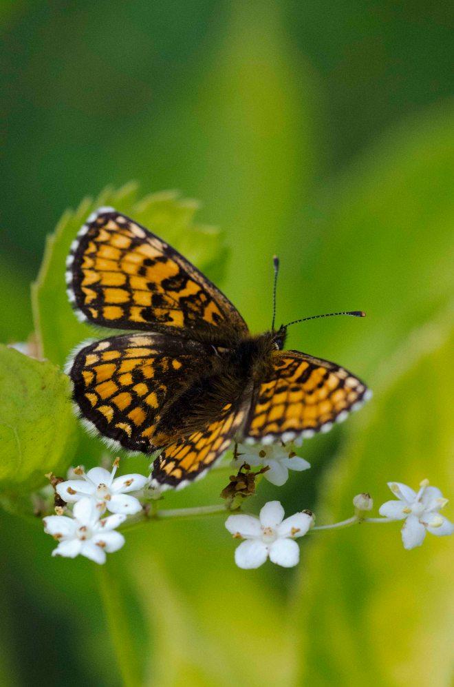 Keiserkåpe? Jeg er ingen ekspert på sommerfugler, men ut i fra Google-søk, ser det ut som om denne typen kalles keiserkåpe.