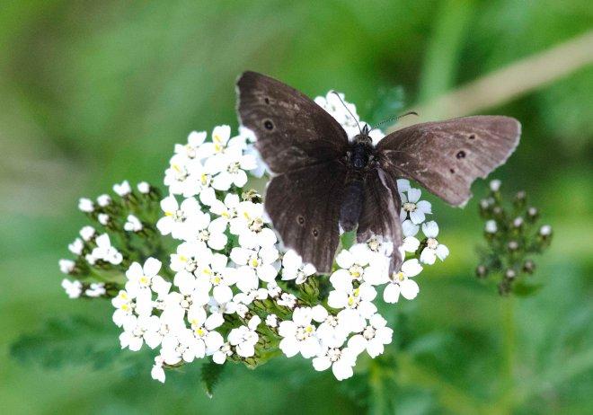 Denne fikk jeg vondt av. Skadeskutt til tross - den fløy i alle fall like pent og effektivt som friske sommerfugler.