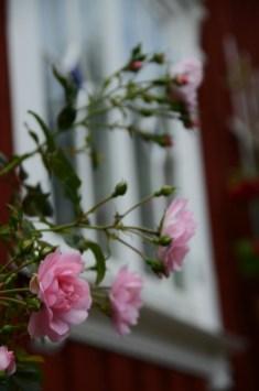 rosebusk_rosa