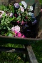 Har du dårlig plass der du normalt vinterlagrer plantene dine, er det lurt å ta av en del av jorden og sette blomstene sammen i kasser.