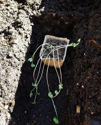 Det er tidlig, men jeg klarer ikke vente. Brokkolispirene er forsådd i byen og fraktet og plantet i pallekarmene på torpet.