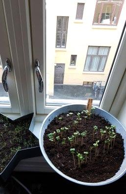 Både salat og reddik spirer i bakgangen i byleiligheten.