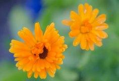 spiselige-blomster-5