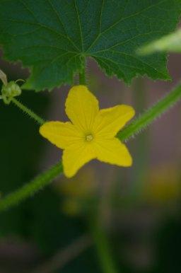Agurkbolomst - kanskje fin som pynt på en vaniljeiskrem?