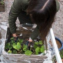 Dersom du fjerner mye av jorden fra pelargonene, får du mye bedre plass med tanke på overvintringen.