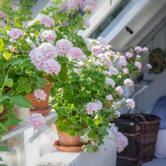 Veksthuset strutter av pelargonia i hele perioden fra juli til september.