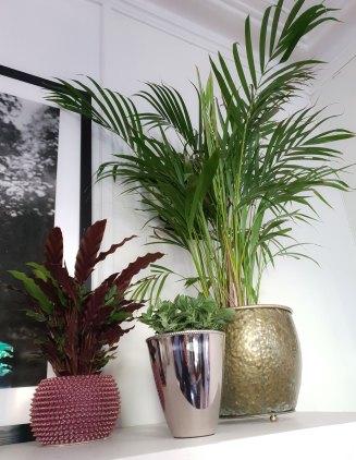 Planten til venstre er en fiskebeinsplante, og jeg liker at undersiden av bladene er burgunder, mens oversiden er grønn. Planten i midten heter Fittonia og krever veldig mye vann, men dersom den henger med bladene som den fort gjør dersom du lar den tørke, kommer den seg igjen dersom du setter den i vann. Planten helt til høyre er en bambuspalme som sies å være luftrensende.