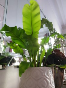 Asplenium har en fantastisk grønnfarge på bladene sine.