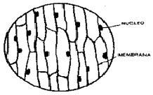 Células de la epidermis de la cebolla