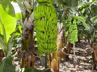 Употребление бананов с Канарских островов предотвращает опасный тип рака?