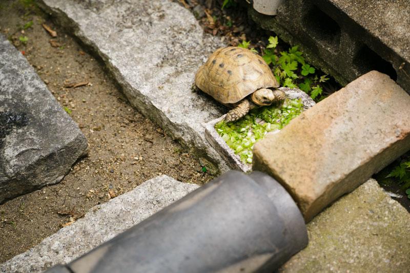 え!?リクガメが庭にいる!?!リクガメ間近で初めて見ました!